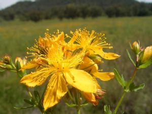 St John�s Wort with its distinctive yellow flowers is well known across the Bega Valley Shire.