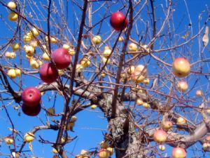 Image of an apple tree.