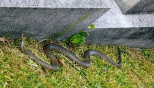 A brown snake spotted at the Bega Cemetery.