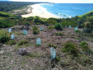 Some of revegetation work undertaken at Cuttagee Point by Bermagui Dune Care
