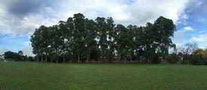 The stand of Sydney blue gums in Lions Park, Bega