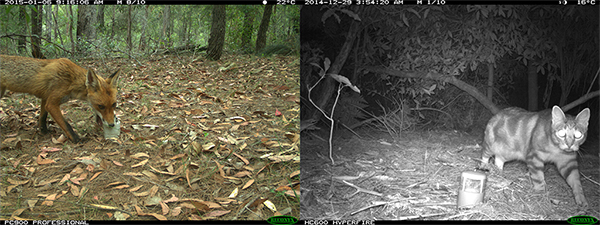 A fox and cat caught on a fixed camera as a part of a local wildlife survey by Bega Valley Shire Council.