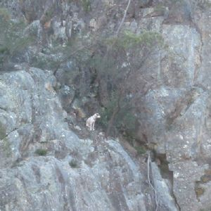 Image of dog stuck on cliff.