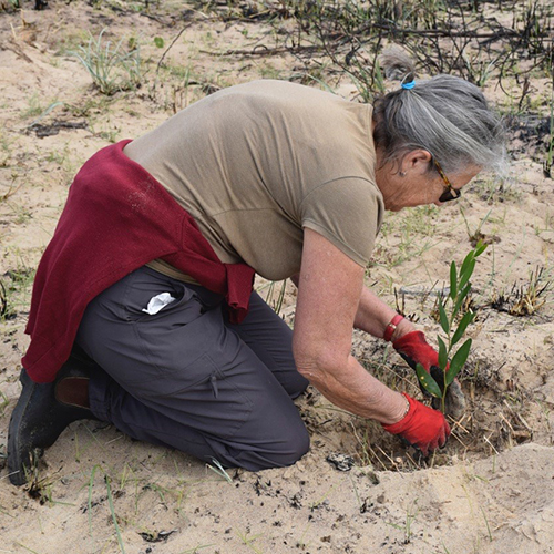woman planting native grass at Tathra Headland