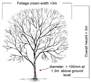 Image of a tree with required measurements for the Definition of a tree.